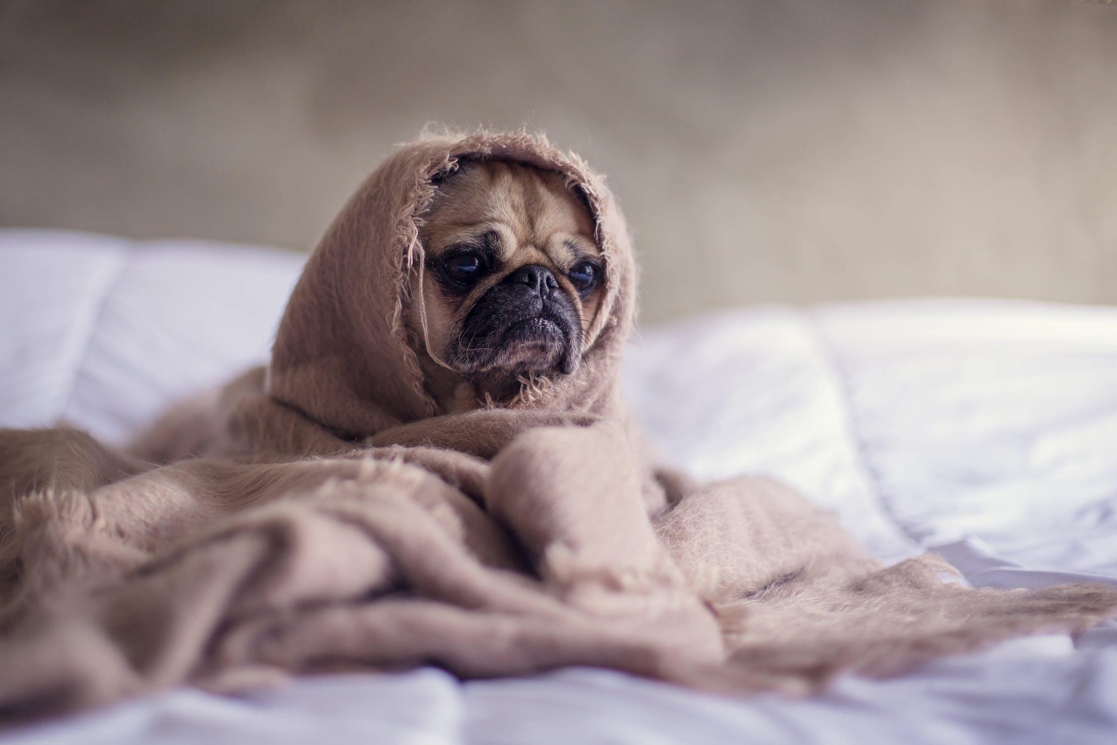 hund under tæppe