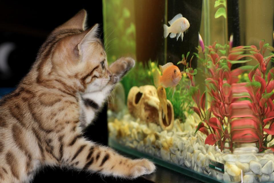 kat foran akvarie